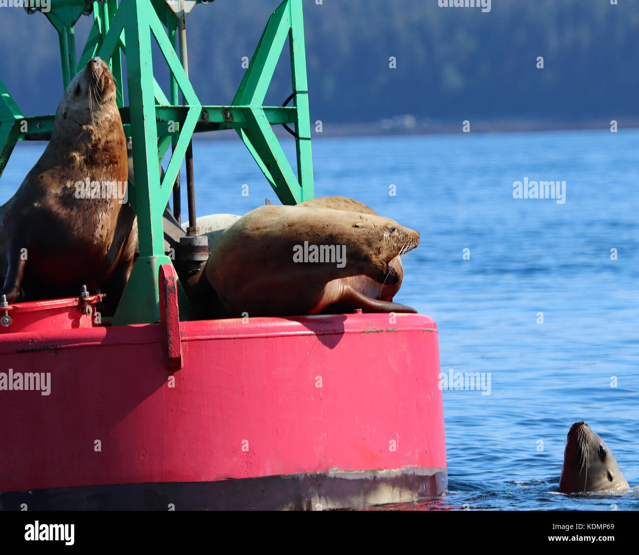 Stellar Sea Lions interacting with each other as they via for dominance and a spot to rest on a large ocean buoy - Stock Image