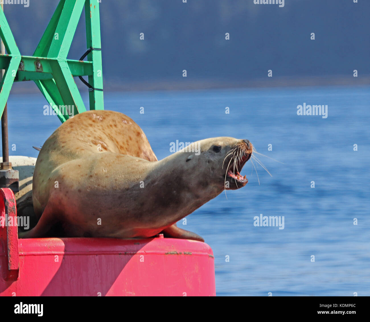 Aggressive Stellar Sea Lion showing that it has no intention of getting off the red buoy - Stock Image