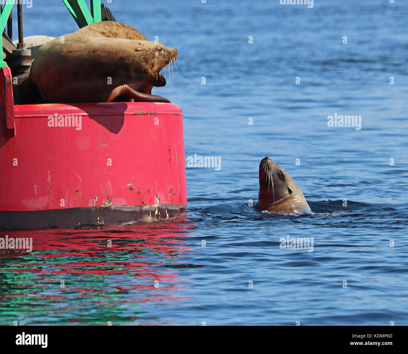 Stellar Sea lions arguing over who gets to rest on a large ocean buoy - Stock Image