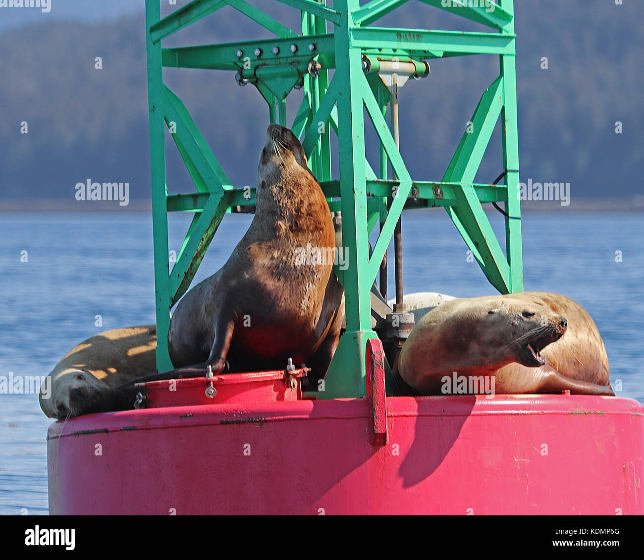 Closeup of Stellar Sea Lions (Eumetopias jubatus) enjoying a beautiful Alaska day on a buoy. - Stock Image