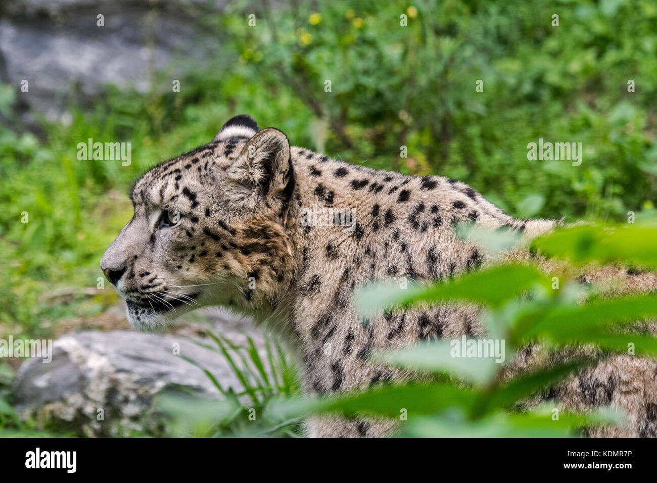 Snow leopard / ounce (Panthera uncia / Uncia uncia) stalking prey, native to the mountain ranges of Central and - Stock Image
