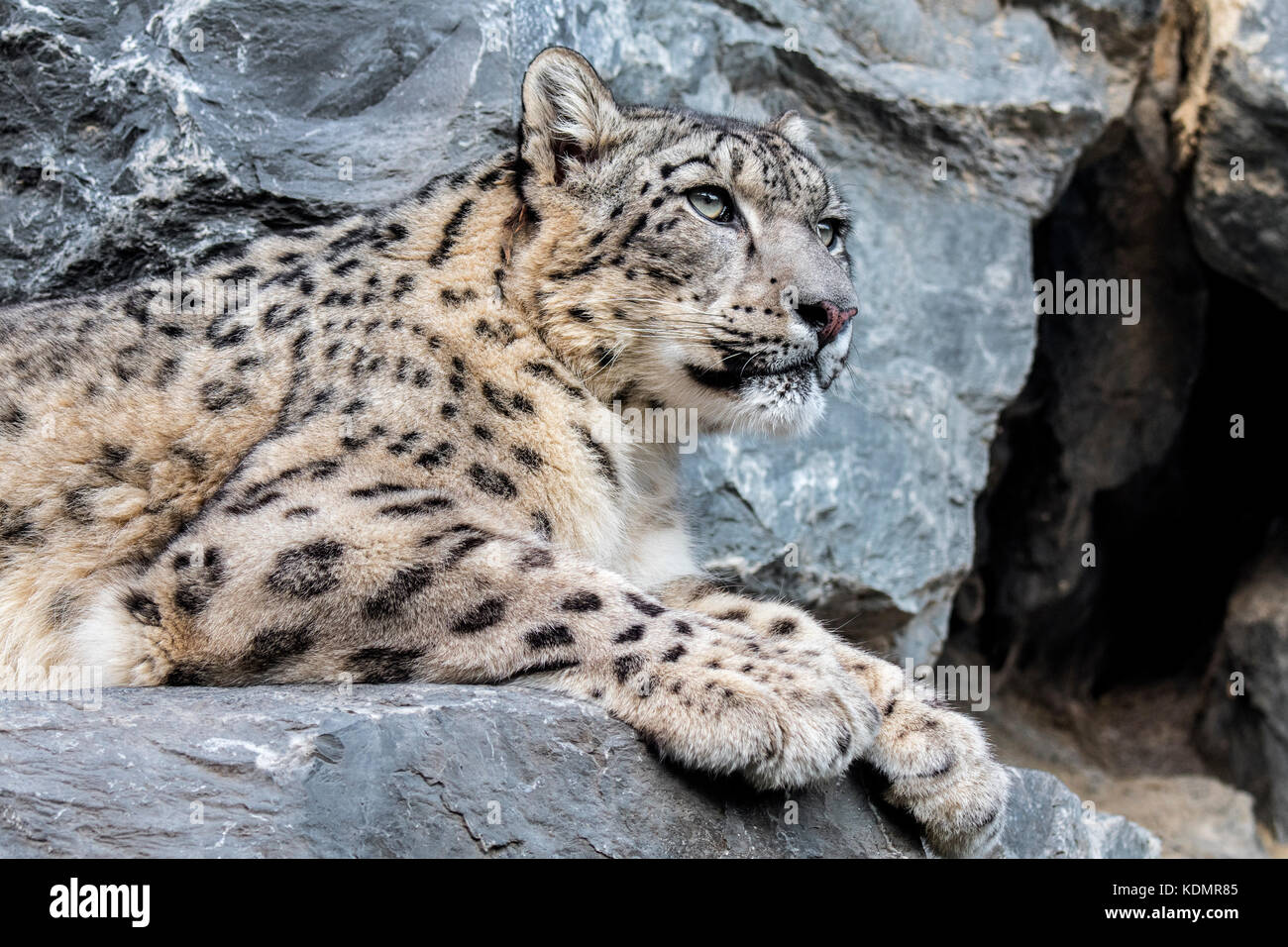 Snow leopard / ounce (Panthera uncia / Uncia uncia) resting on rock ledge in cliff face near cave entrance - Stock Image