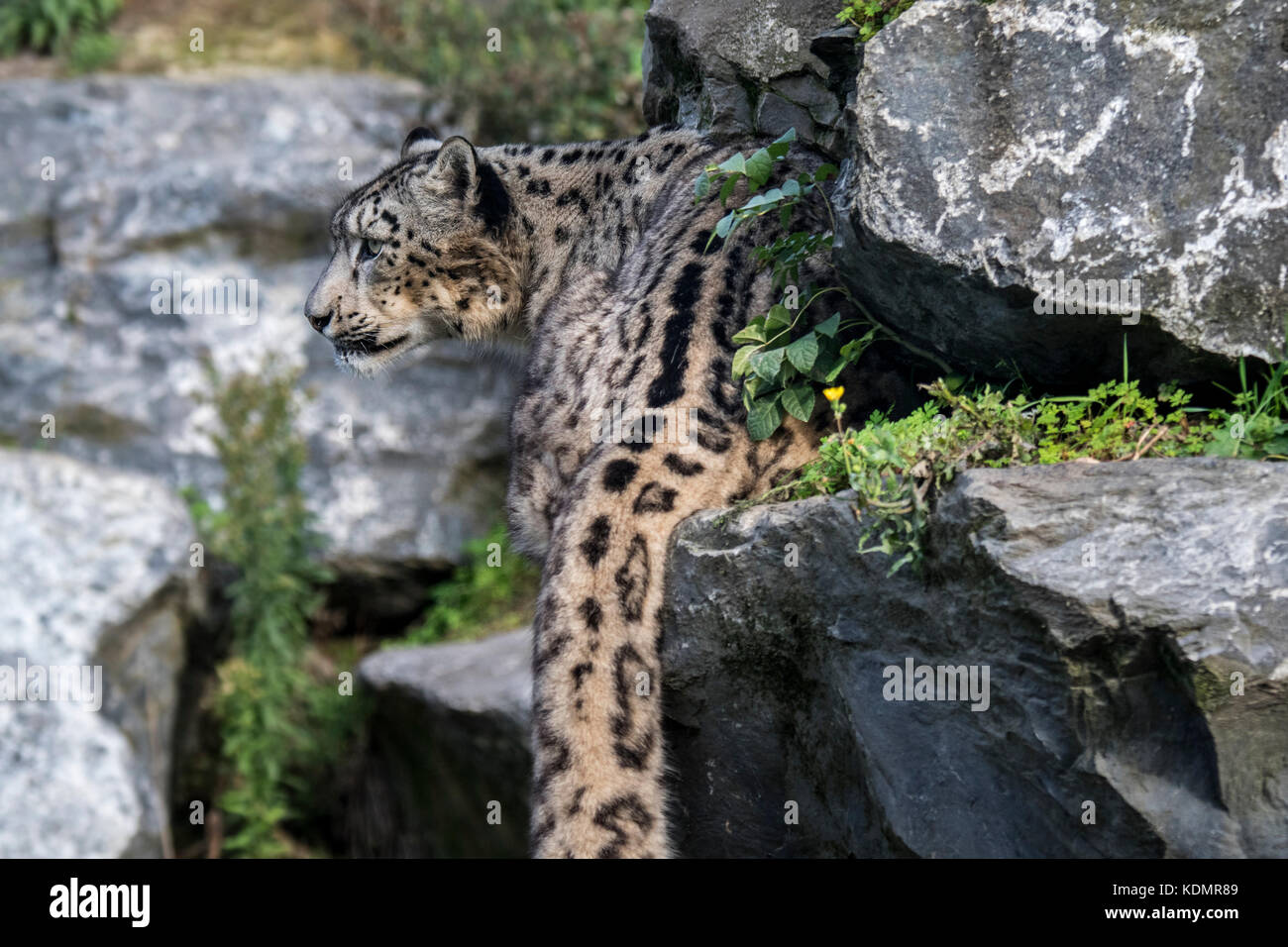 Snow leopard / ounce (Panthera uncia / Uncia uncia) stalking prey in rock face, native to the mountain ranges of - Stock Image