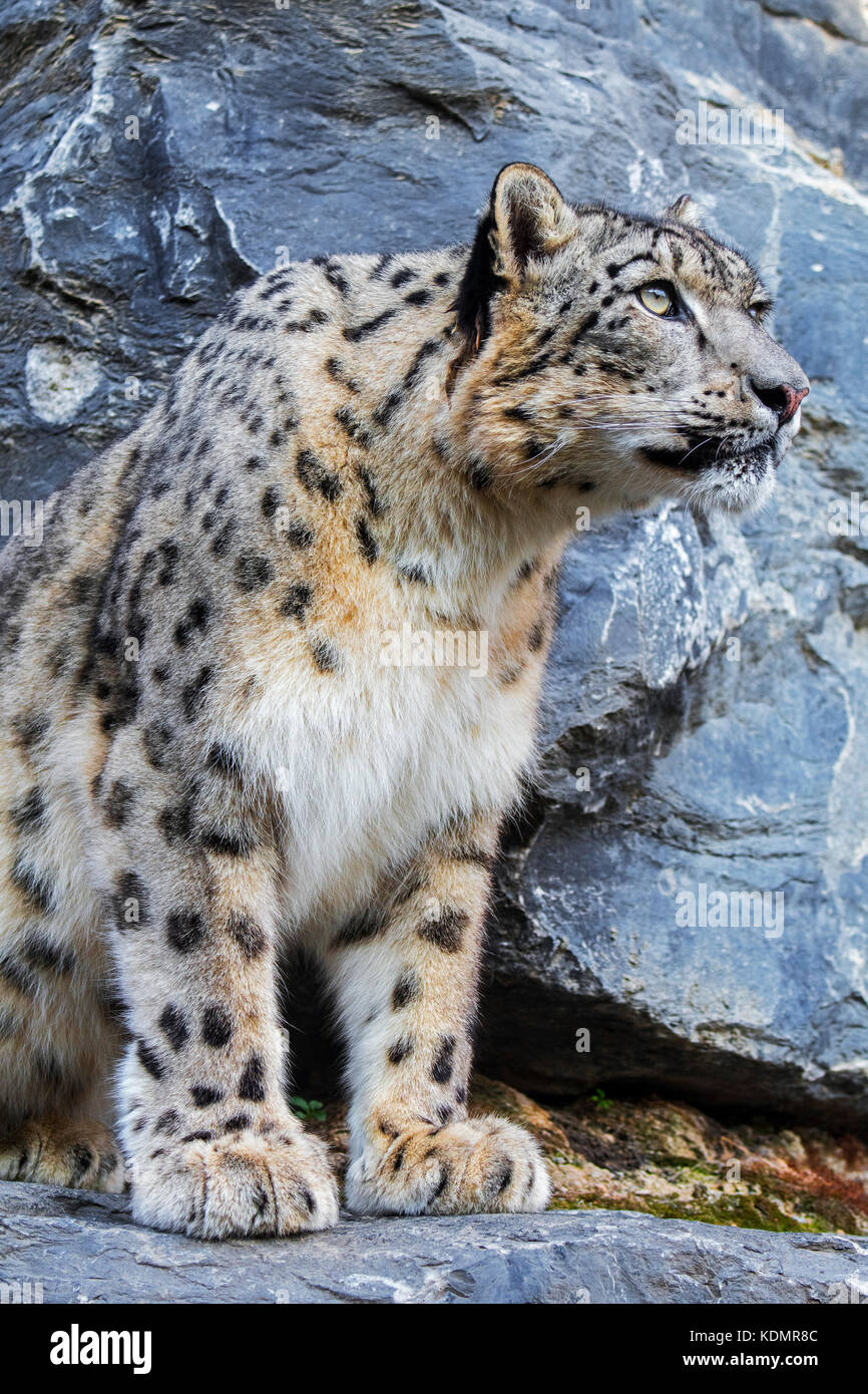 Snow leopard / ounce (Panthera uncia / Uncia uncia) looking for prey from rock ledge in cliff face, native to the - Stock Image