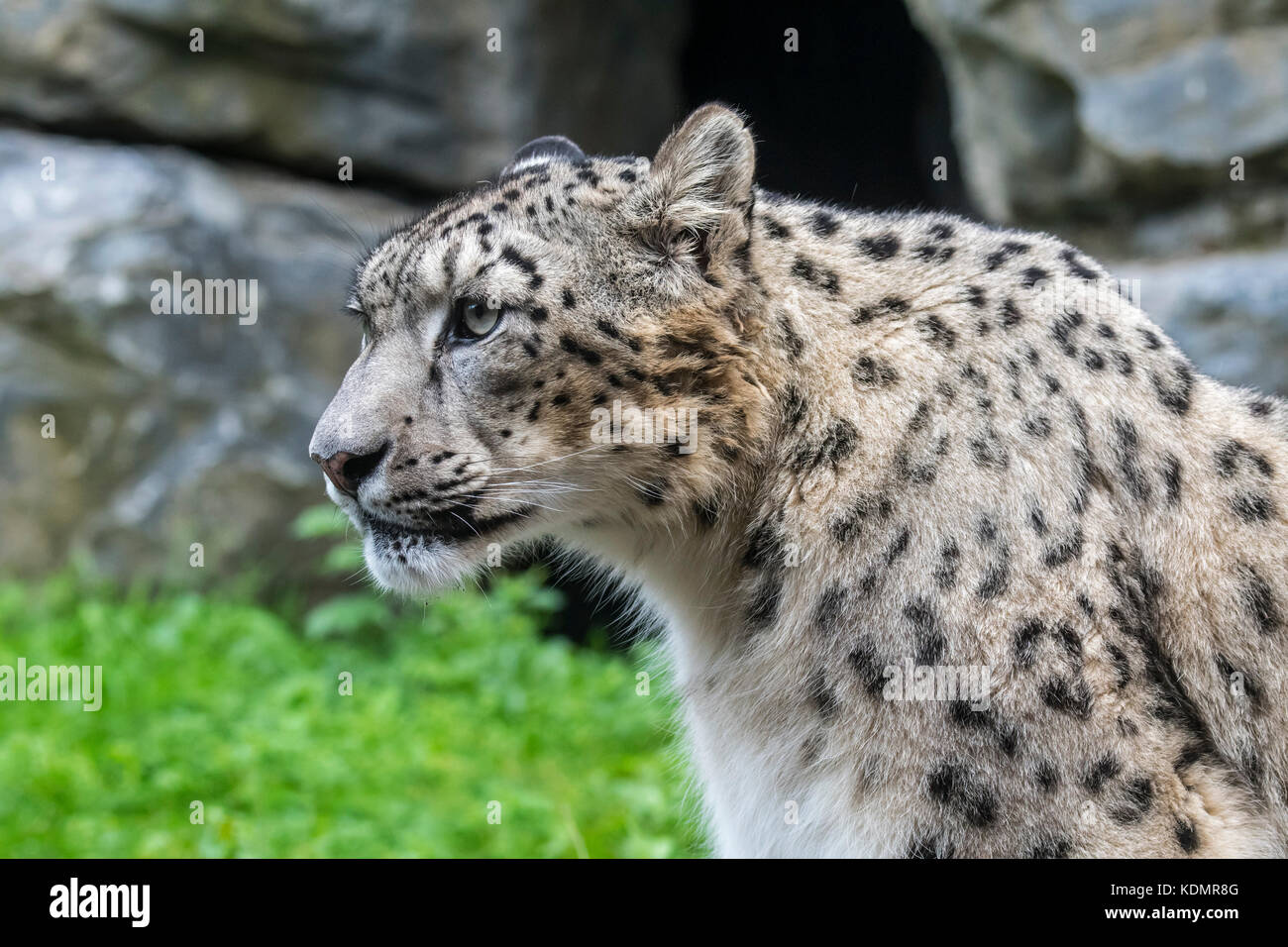 Snow leopard / ounce (Panthera uncia / Uncia uncia) native to the mountain ranges of Central and South Asia - Stock Image