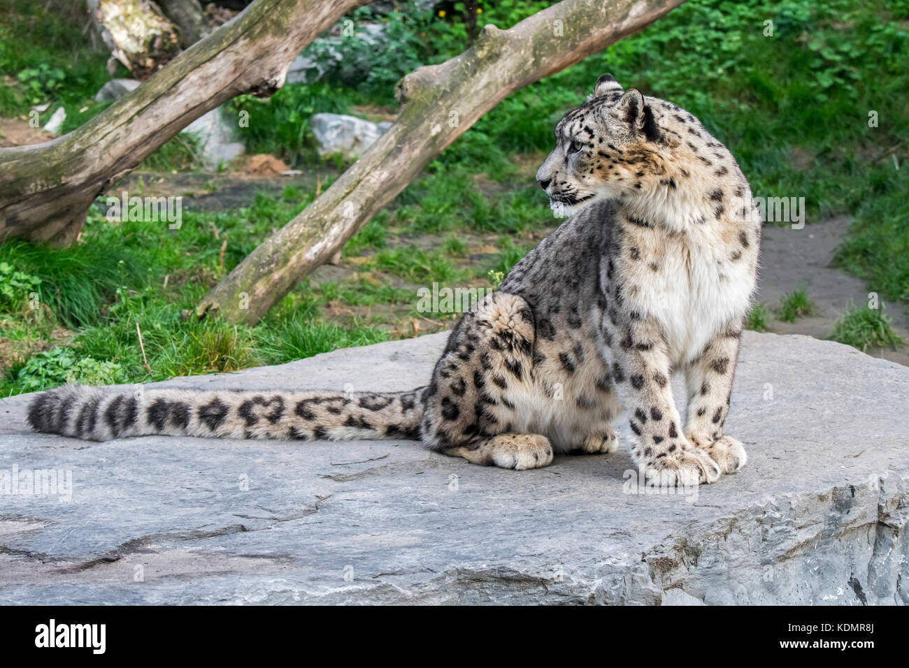 Snow leopard / ounce (Panthera uncia / Uncia uncia) sitting on rock looking backwards, native to the mountain ranges - Stock Image