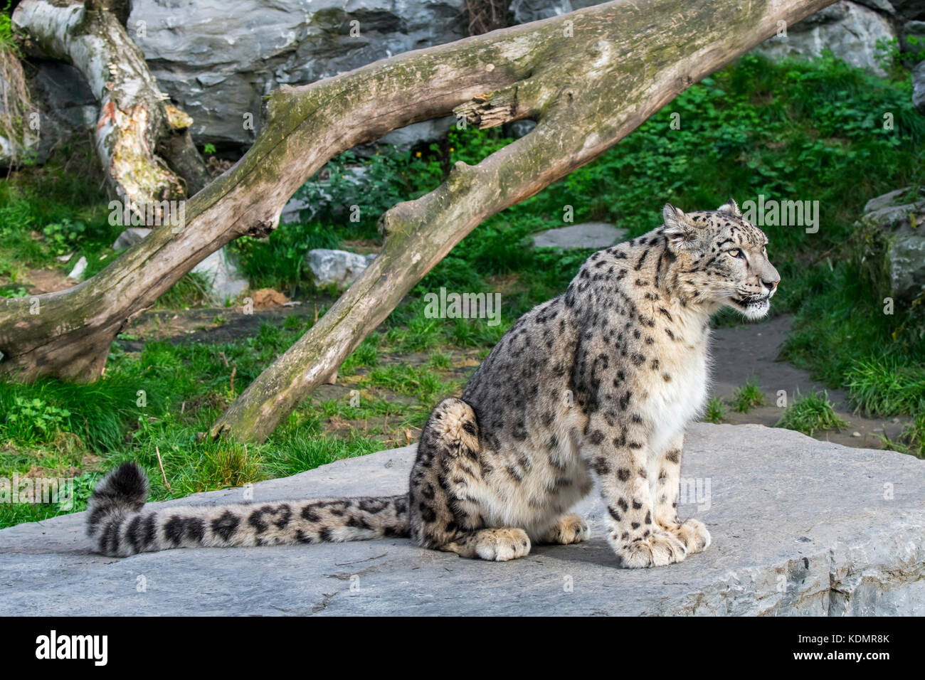 Snow leopard / ounce (Panthera uncia / Uncia uncia) native to the mountain ranges of Central and South Asia sitting - Stock Image