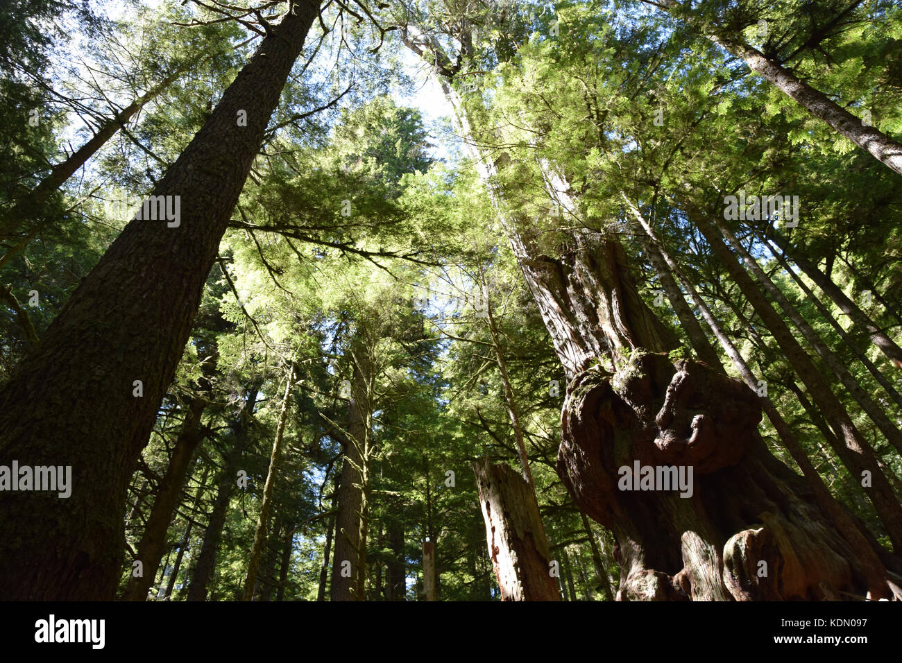 Avatar Grove with its majestic old-growth forest was only recently discovered by loggers and m - Stock Image