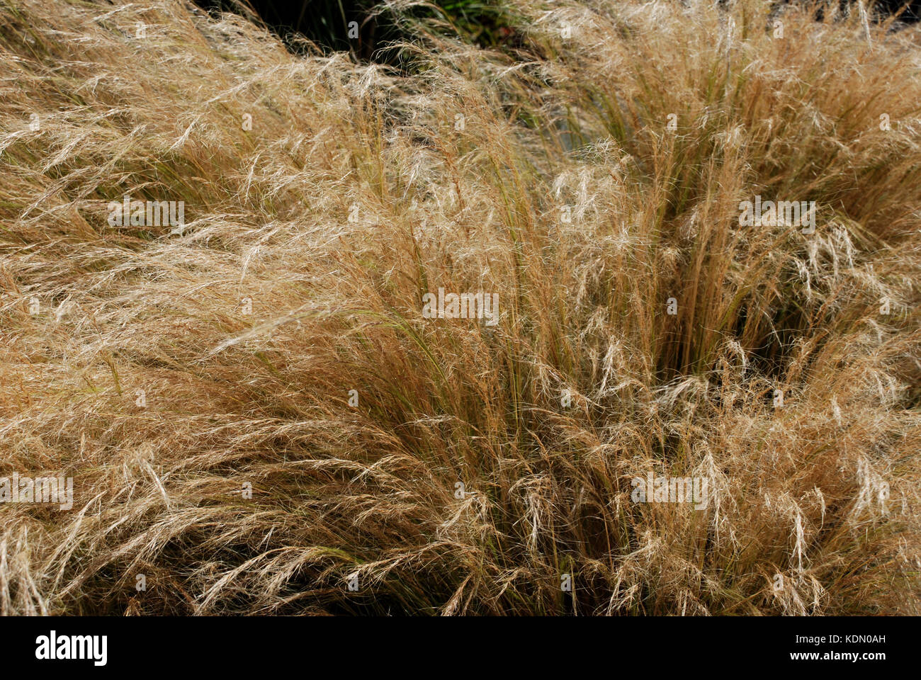 Dry grass blows in the wind - Vancouver Island -Victoria, BC, Canada - Stock Image