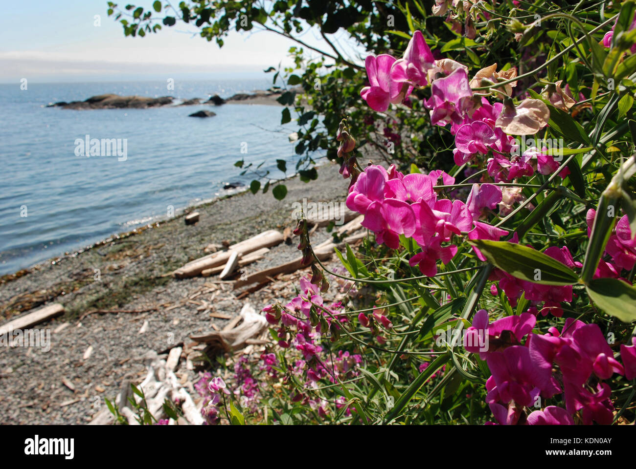 Sweetpeas growing near Victoria, BC waterfront - Stock Image