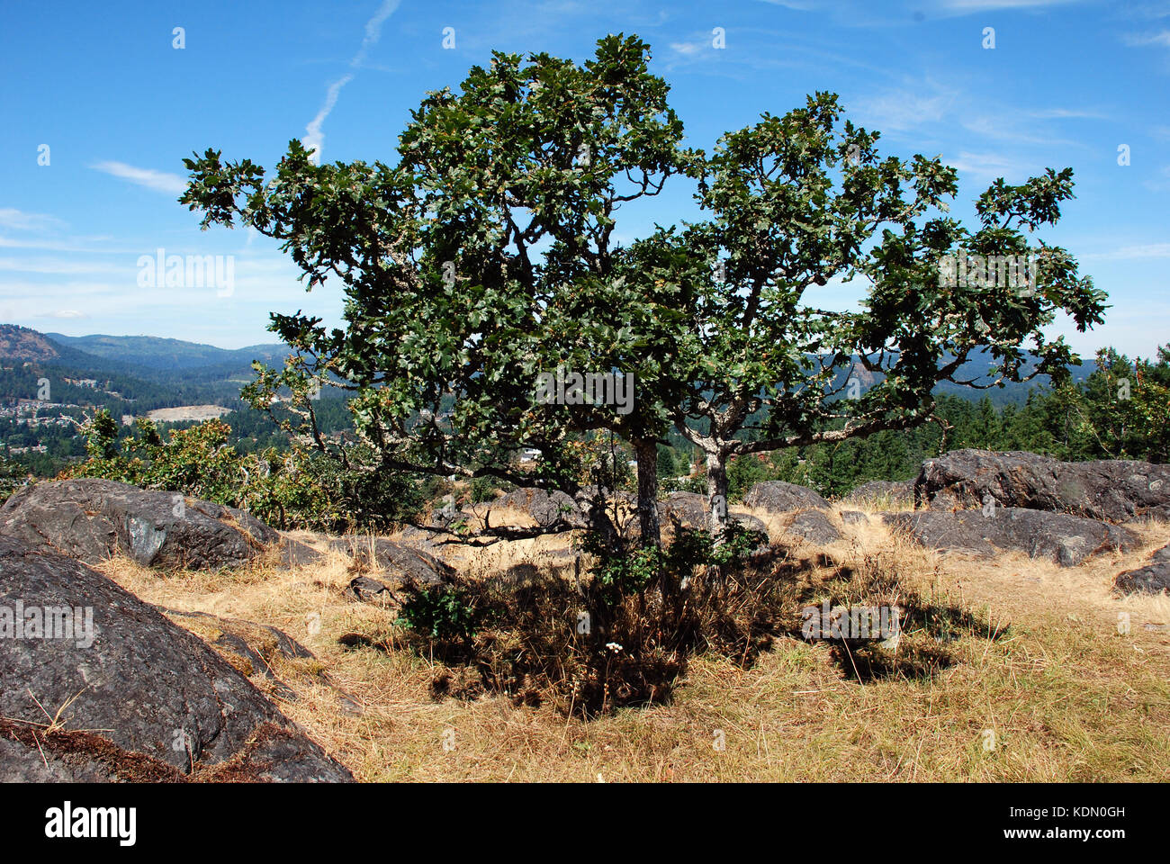 Garry oak tree stands on the summit-Mill Hill Regional Park, Vancouver Island, BC, Canada - Stock Image