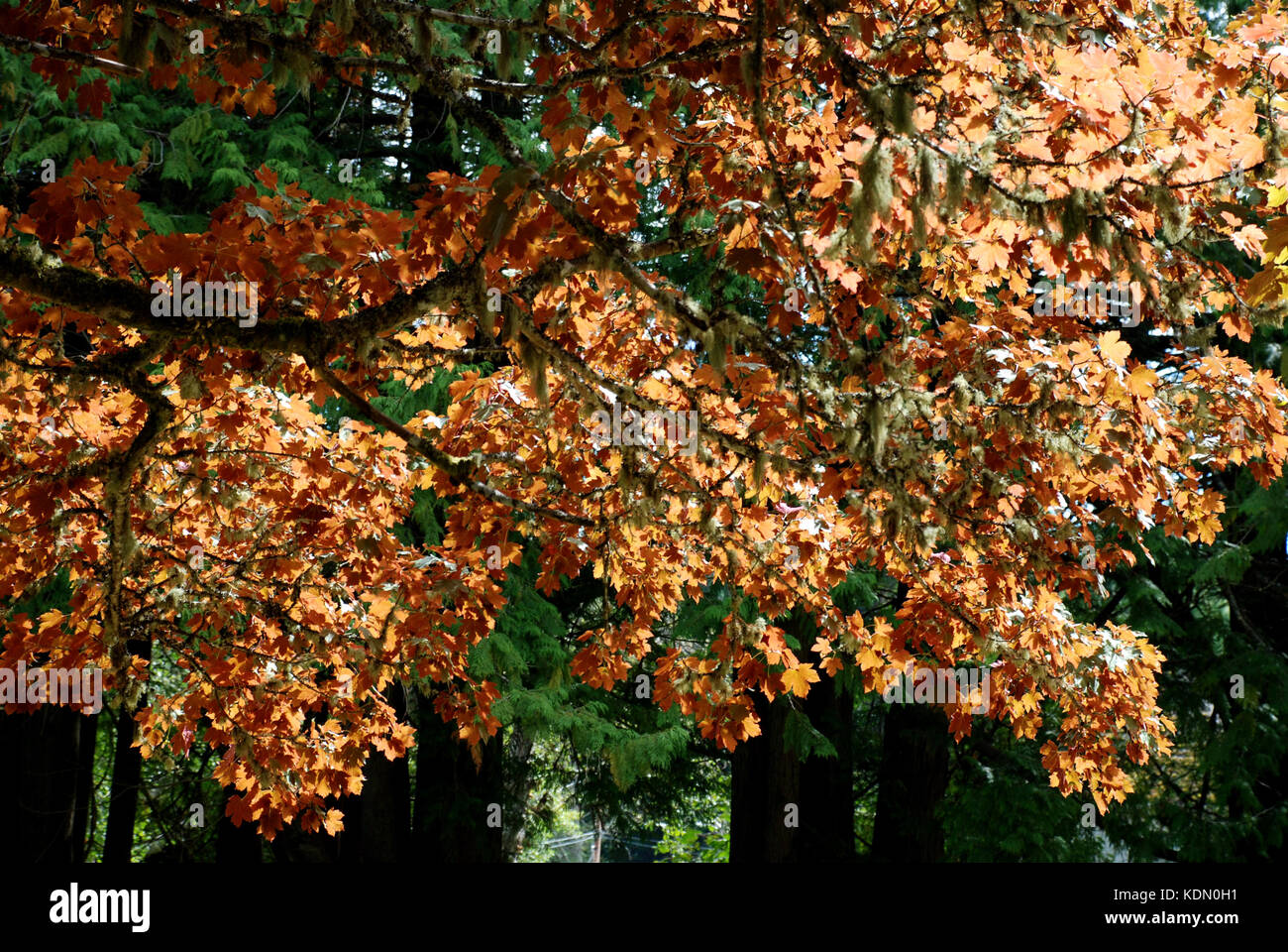 Autumn leaves at the Coast Collective, Colwood, B.C. Canada - Stock Image