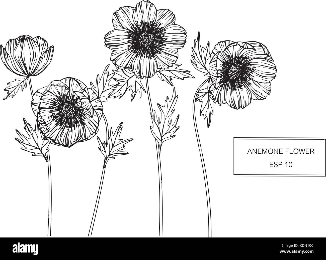 Anemone flower drawing  illustration. Black and white with line art. - Stock Vector