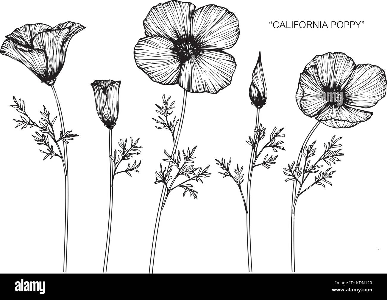 California poppy flower drawing  illustration. Black and white with line art. Stock Vector