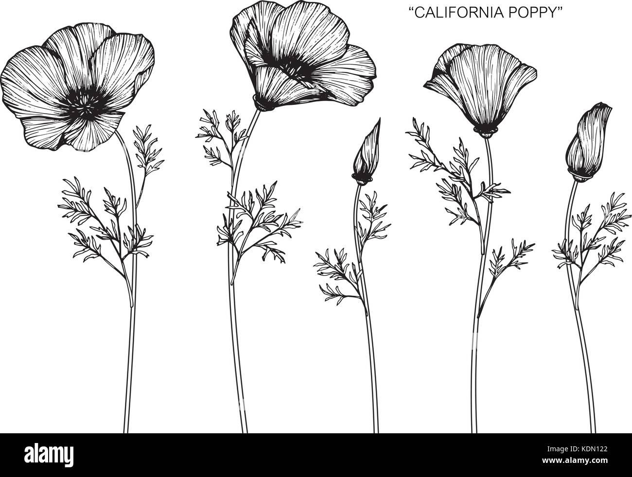 Poppy Botanical Drawing Stock Photos Poppy Botanical Drawing Stock