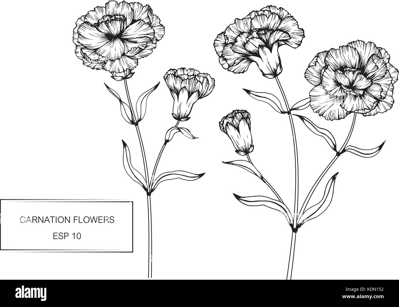 Diagram of a white carnation flower all kind of wiring diagrams white carnation stock vector images alamy rh alamy com flower reproduction diagram male flower diagram ccuart Gallery