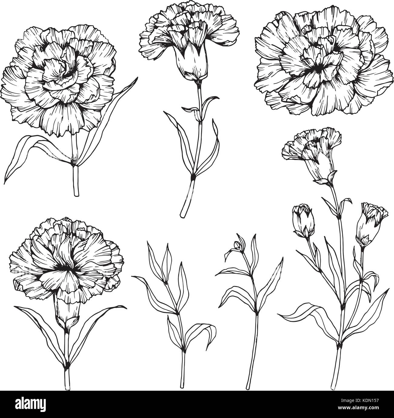 Carnation flower drawing  illustration. Black and white with line art. Stock Vector