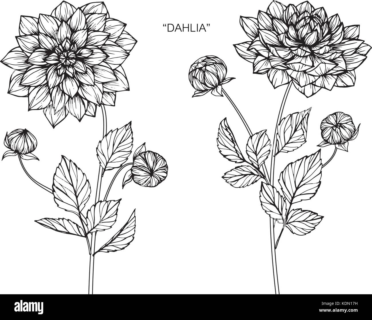 black and white dahlia flower isolated on background. royalty-free stock  vector art | Flower drawing, Flower drawing images, Floral illustrations