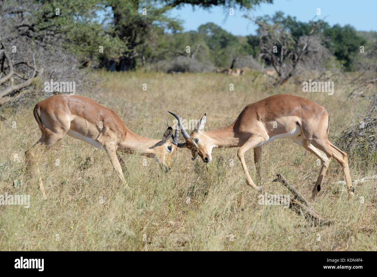 Two Impala (Aepyceros melampus) male fighting for dominance, Kruger National Park, South Africa - Stock Image
