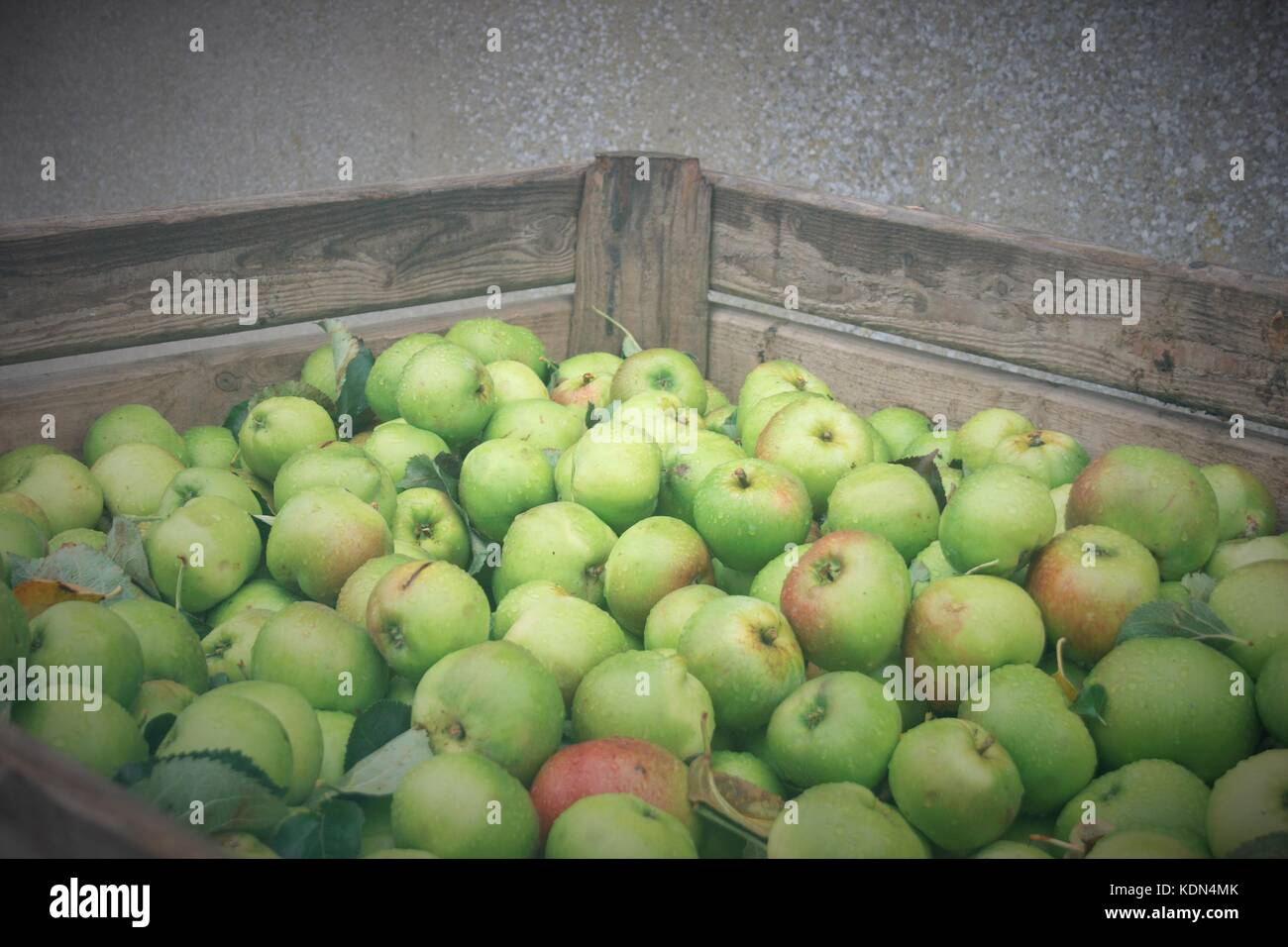 A Full Apple Bin Of Picked Bramley Apples In Co Armagh, Northern Ireland - Stock Image