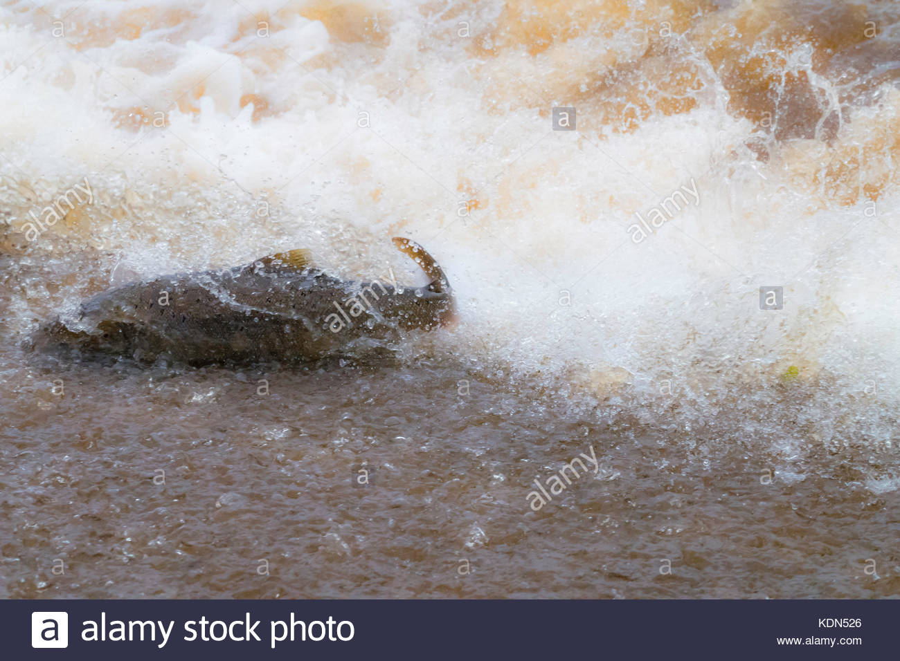 Selkirk, Scottish Borders, UK. 13th October 2017. An Atlantic Salmon (Salmo salar) leaps upstream over a cauld on - Stock Image