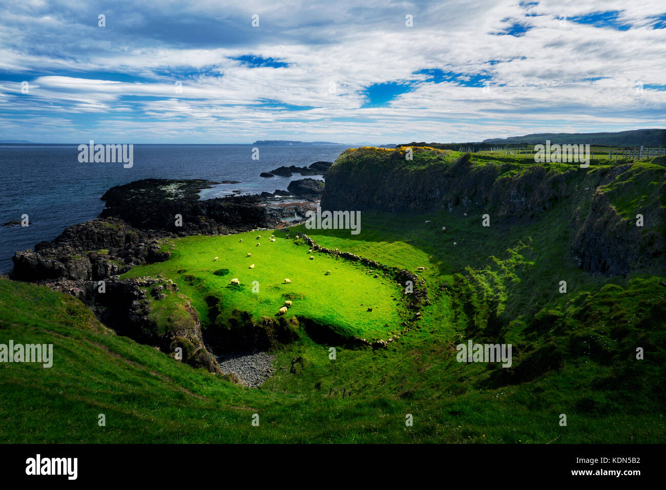 Sheep in pasture. Along the Ulster Way Trail between Dunseverick Harbor and Port Bradden. Nothern Ireland - Stock Image
