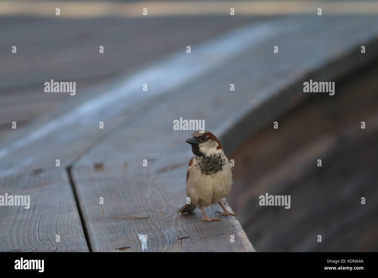 Sparrow - Stock Image