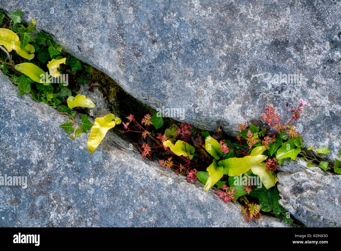Hart's Tongue fern (Asplenium scolopendrium) and Herb Robert wildflowers with red leaves growing in Karst limestone. Stock Photo