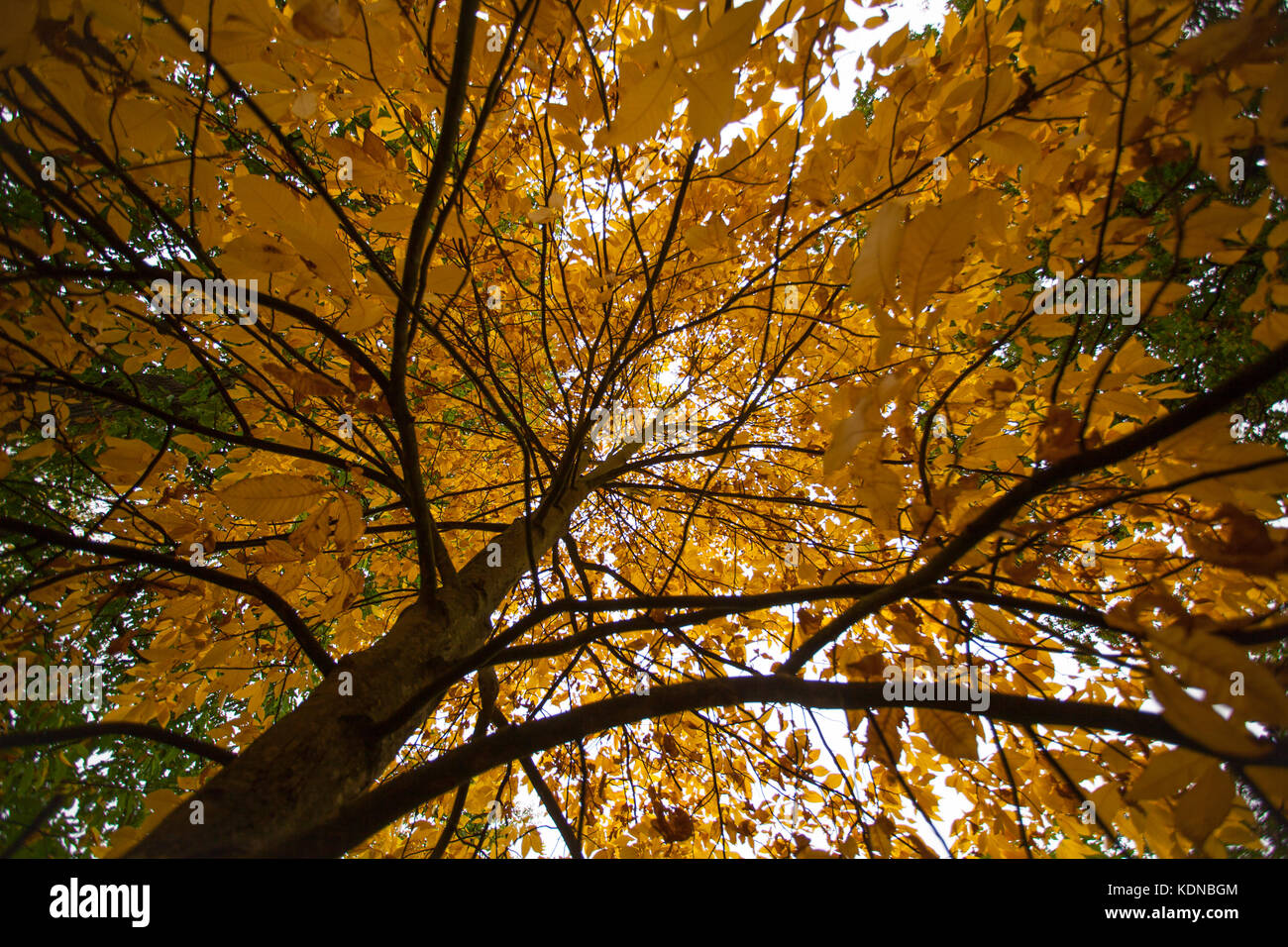 Red Hickory Tree in Autumn in London - Stock Image