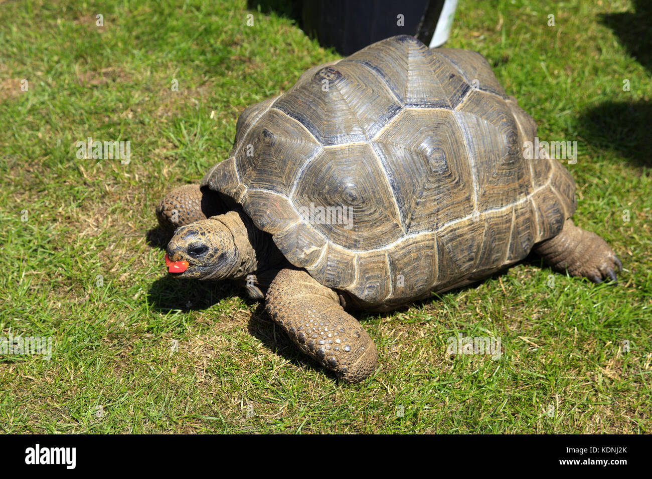 Young Aldabra Giant Tortoise eating a tomato - Stock Image