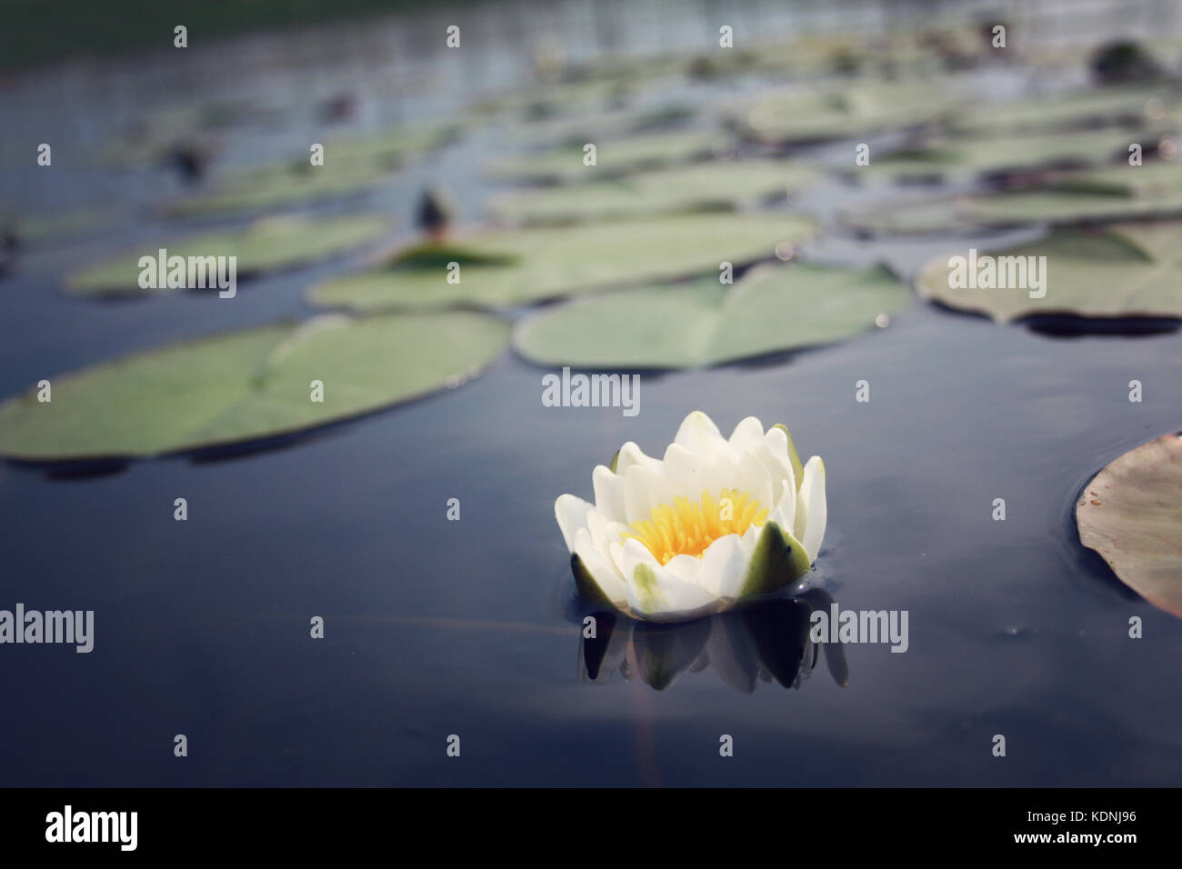 Nympaea Tetragona Georgi Water lily. Kenozero lake. IUCN, Red List. Toned photo. White water lilies in the blue - Stock Image