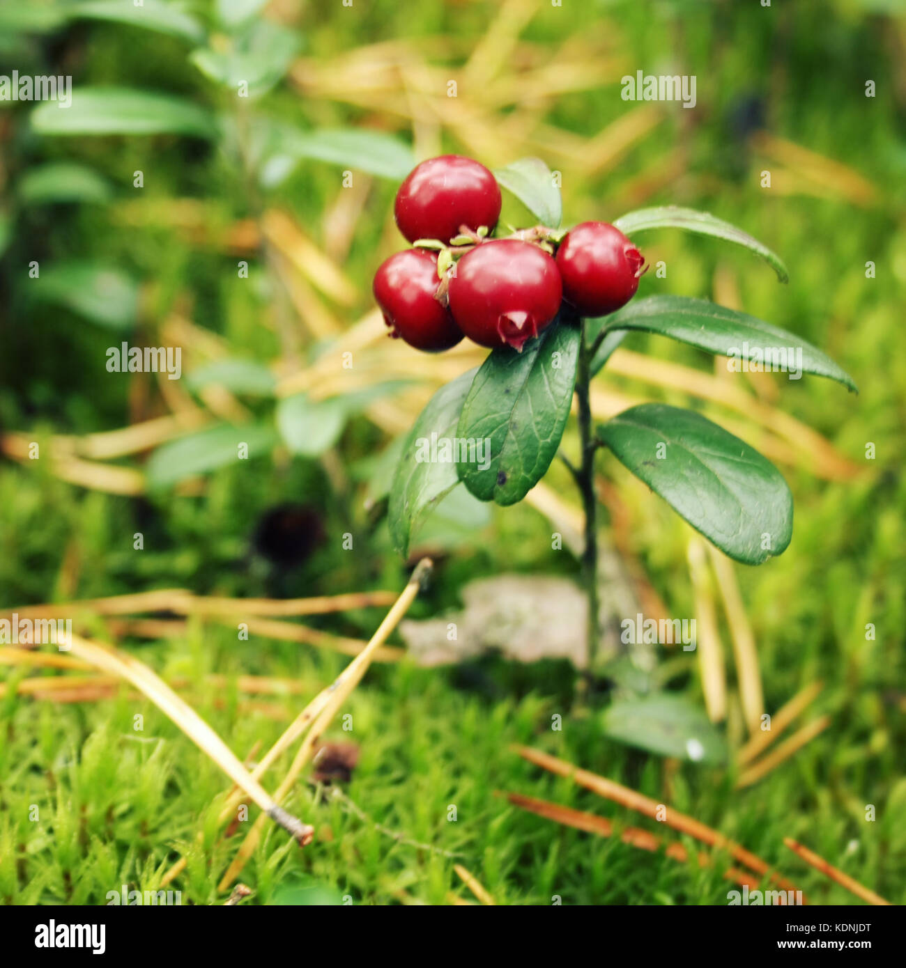 Wild nature. Cowberry in the forest. Macro. Deep red Lingonberry in the wild. Organic food. Autumn photo. Toned Stock Photo