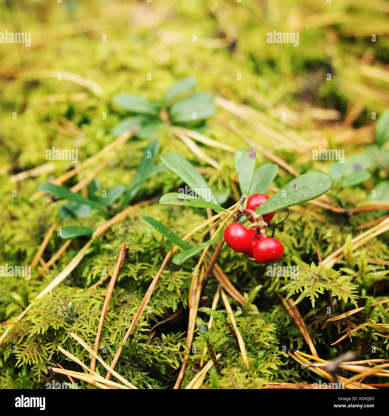 Bright red Lingonberry in the forest. Berry Picking in Russia. Cowberry in the nature. Organic food. Autumn photo. - Stock Image