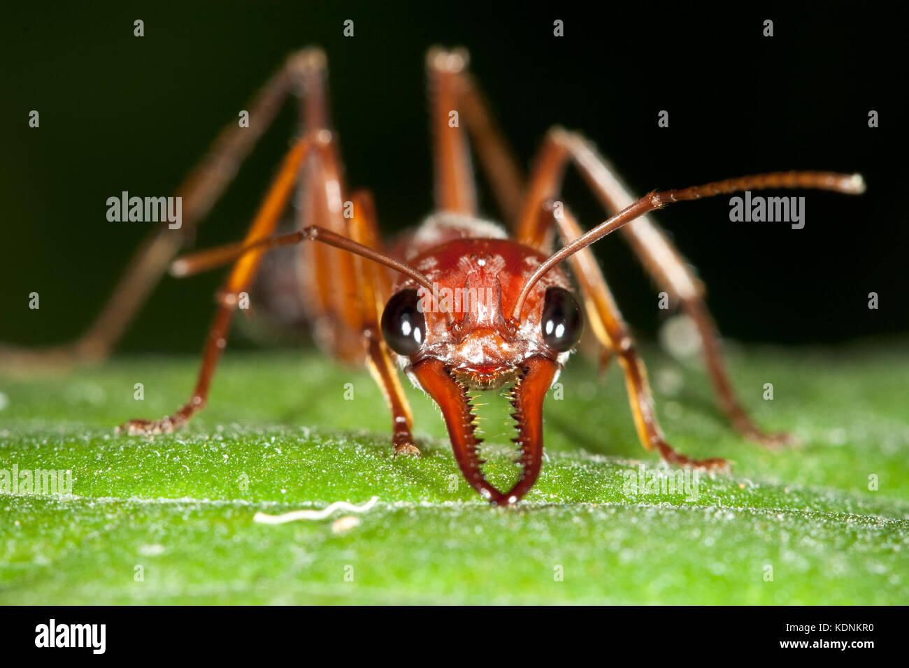 Brown Bulldog Ant (Myrmecia brevinoda) in defensive posture on leaf. Hopkins Creek. New South Wales. Australia. Stock Photo