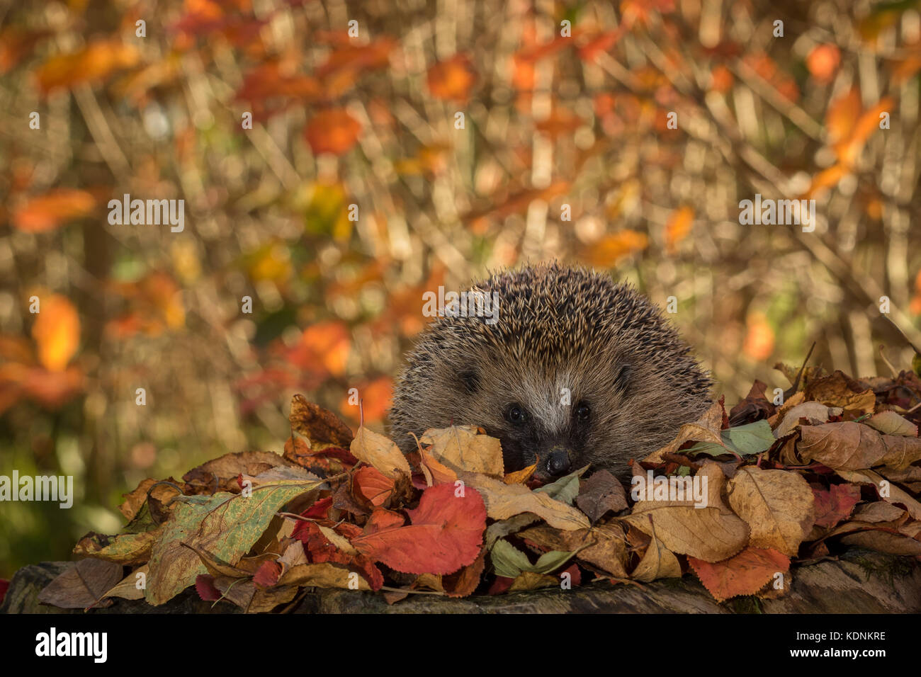 Wild European Hedgehog, Erinaceus europaeus, in colorful autumn leaves looking in camera - Stock Image