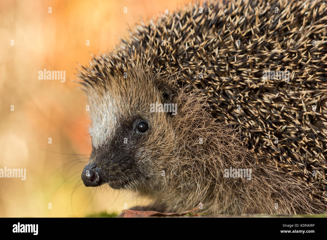 close portrait of European hedgehog, Erinaceus europaeus, in autumn colours - Stock Image