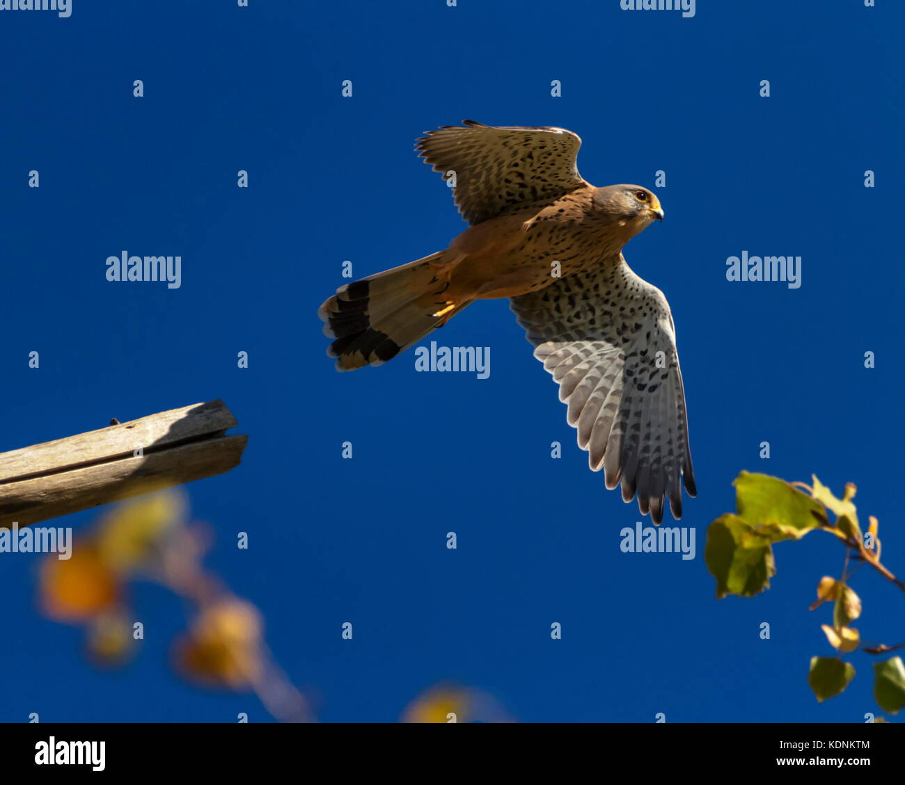 European, eurasian, common or old world kestrel, falco tinnunculus flying up - Stock Image
