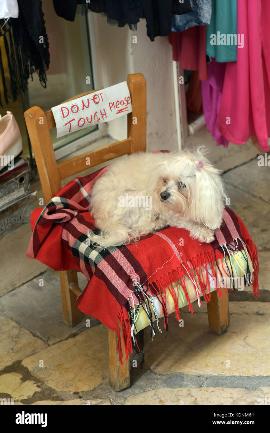 a small dog or terrier resting on a blanket on a chair with a sign saying do not touch the dog. beware of the dog. - Stock Image