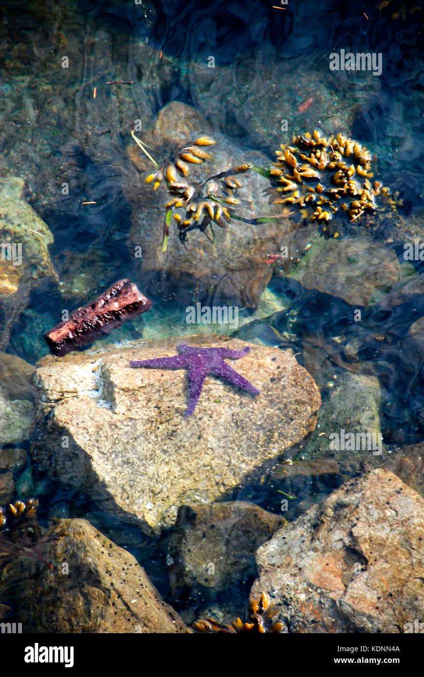 Purple starfish - Salt Spring Island, BC, Canada - Stock Image