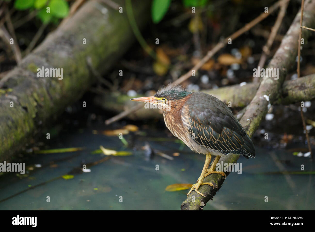 Close-up view of baby Green Heron resting on a log in a swamp setting with murky water below. - Stock Image