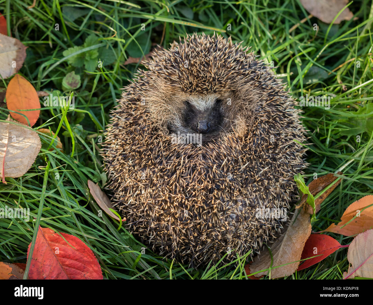 Wild Eurpean Hedgehog, Erinaceus europaeus, curled up in green grass - Stock Image