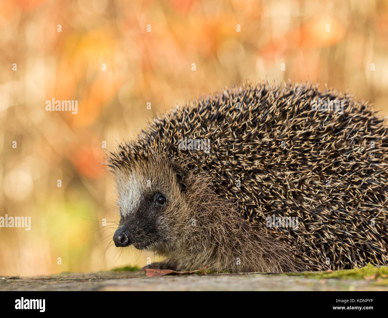 European hedgehog, Erinaceus europaeus in colorful autumn leaves looking in camera - Stock Image