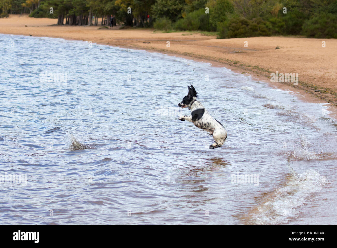 A springer spaniel leaping into icy waters after its ball having been thrown into Loch Morlich by its owner, Scotland, - Stock Image