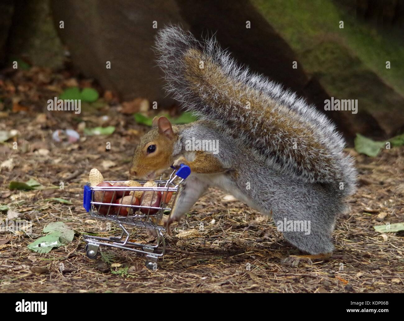 Grey squirrel pushing shopping cart trolley full of nuts in park - Stock Image