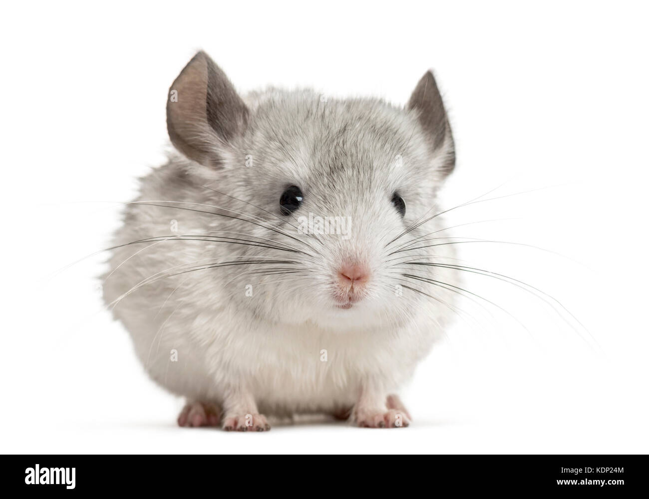 White chinchilla, isolated on white Stock Photo