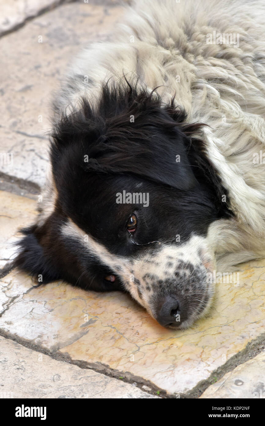 a border collie or sheepdog sleeping or lying down with eyes open watching and resting on a pathway. - Stock Image