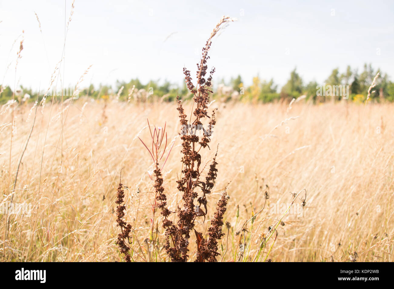 Weed In Farmers Field, Taken on the 15th August 2016 in Mansfield Town On a day when we had a heat wave and it was - Stock Image