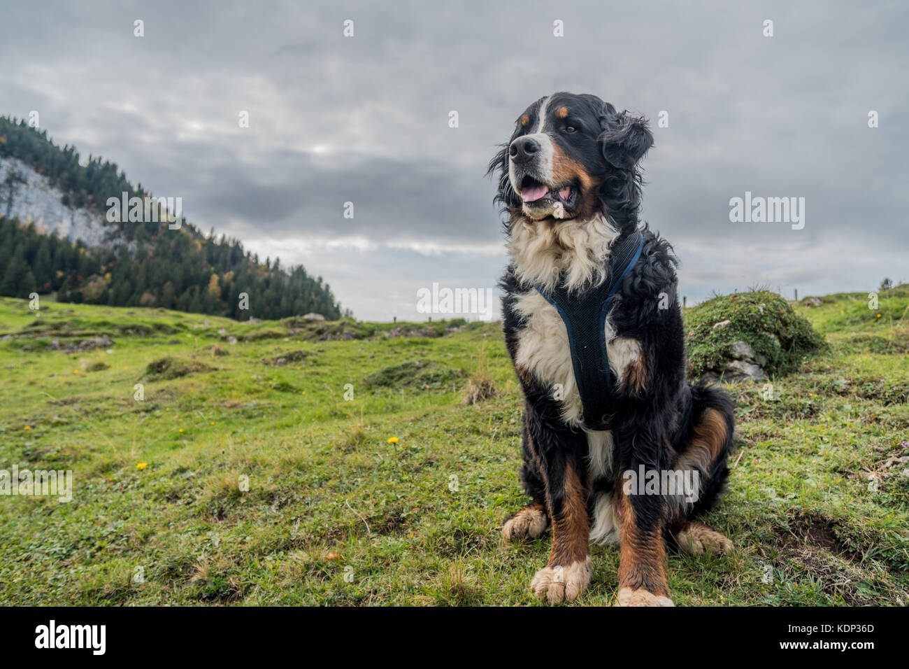 Beautiful Male Bernese Mountain Dog in the Appenzell region of Swiss Alps - Stock Image