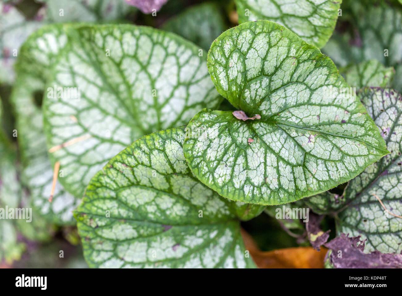 Brunnera macrophylla ' Mr Morse ', leaves - Stock Image