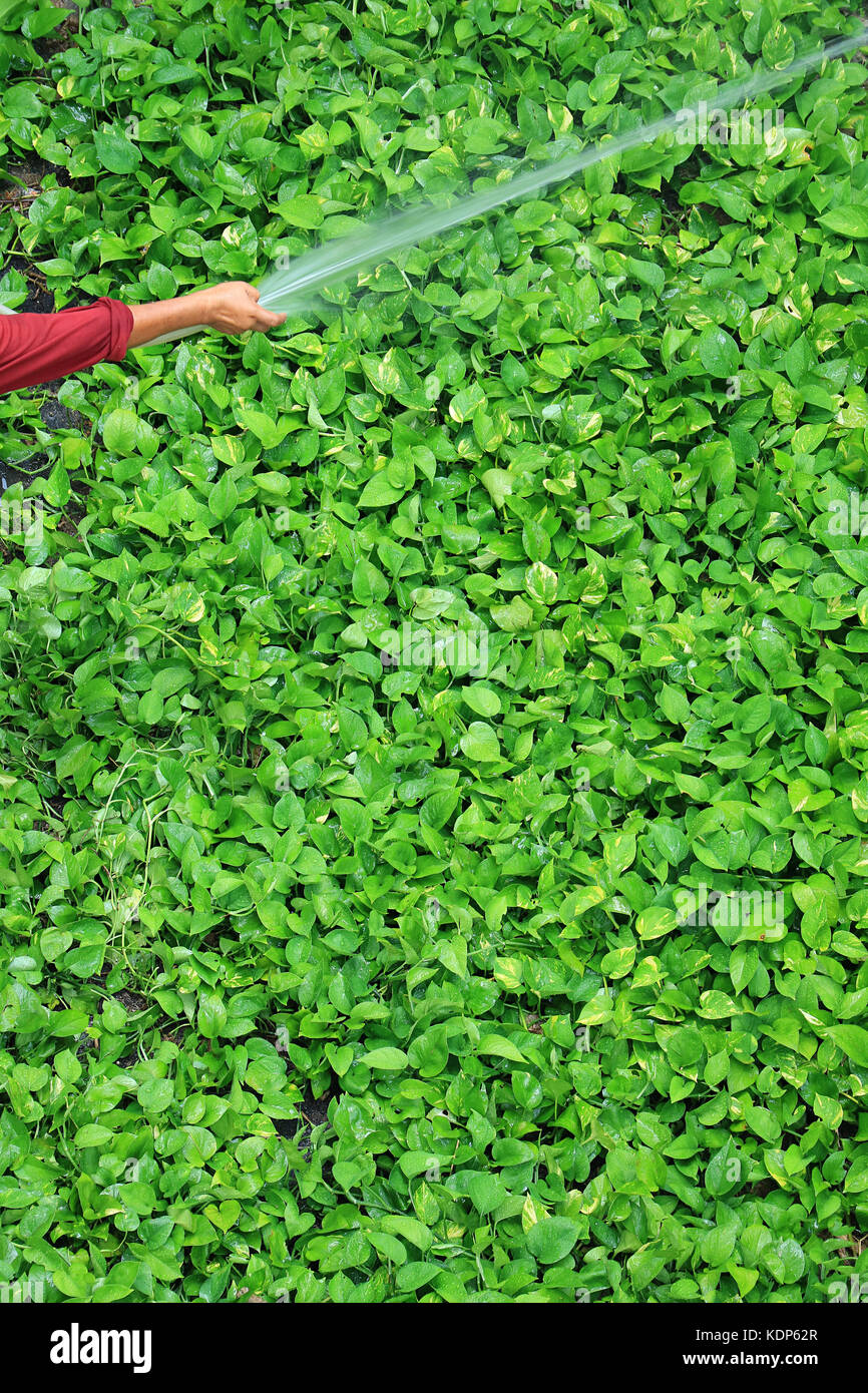 Gardener's hand watering bright green devil's ivy plants with spray hose pipe, vertical photo - Stock Image